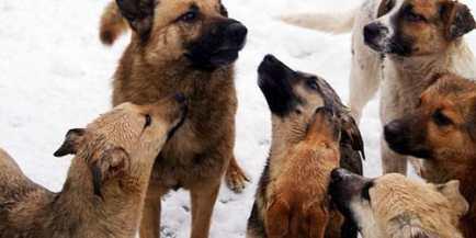 köpekleri